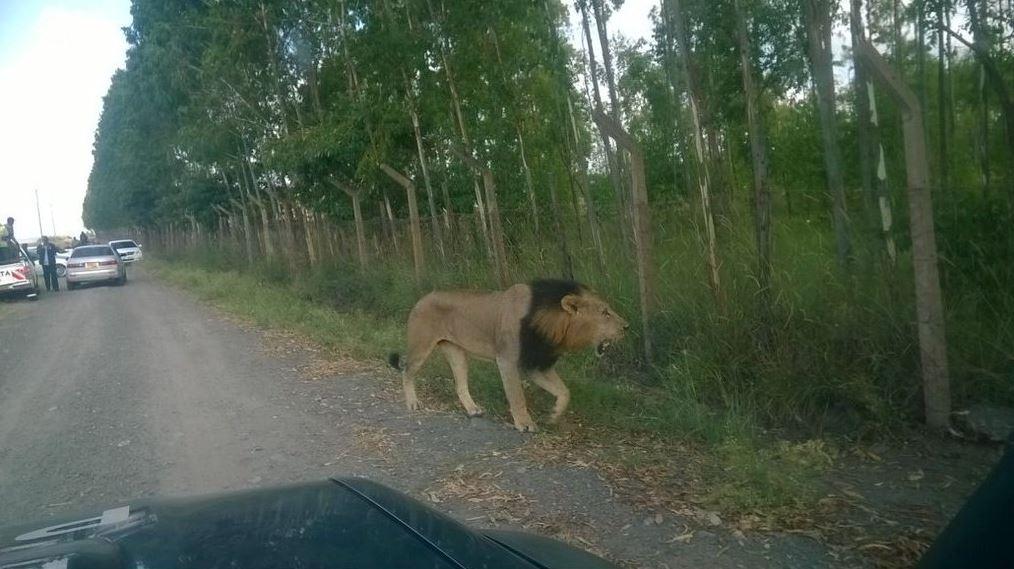 lion6
