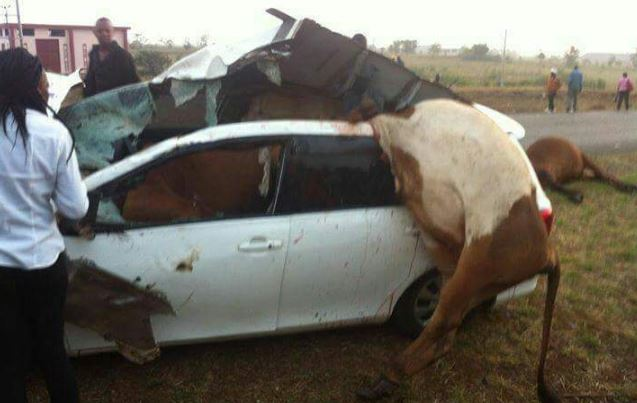 Car Accidents Caused By Cows