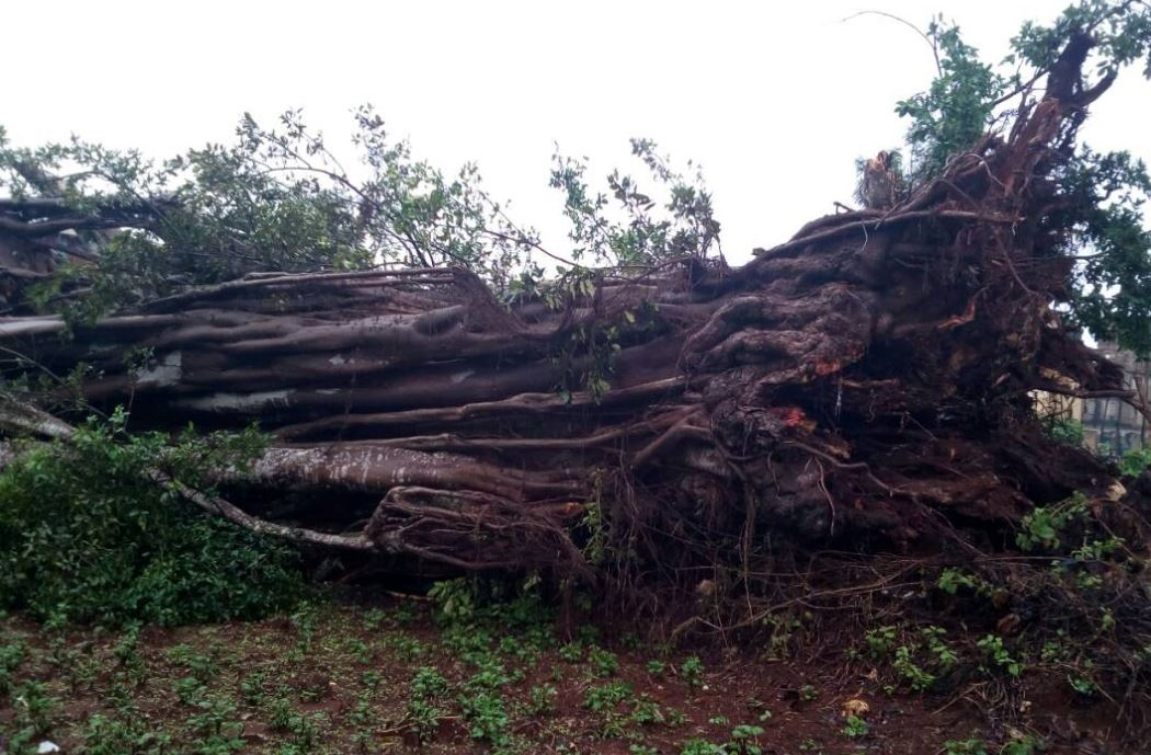 Image result for images of fallen Mugumo tree