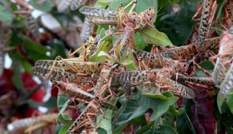 South Sudan hit by desert locust swarm as plague spreads